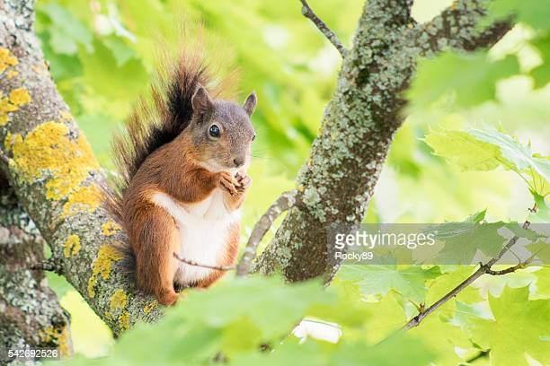 Cute squirrel eating a nut on a branch