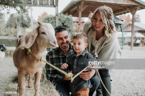 cute surprised son looking at goat with parents at farm - junge gefesselt stock-fotos und bilder