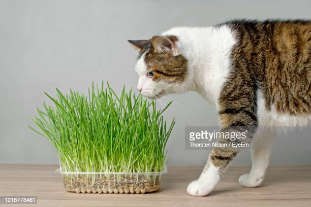 cute tabby cat looking curious to a plant pot with fresh catnip. - catmint stock pictures, royalty-free photos & images