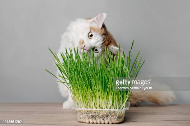 cute tabby cat looking curious to a pot of cat grass. - catmint stock pictures, royalty-free photos & images