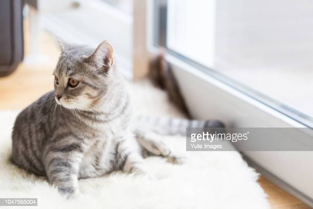 cute tabby cat lying in sunlight indoors - tabby stock pictures, royalty-free photos & images