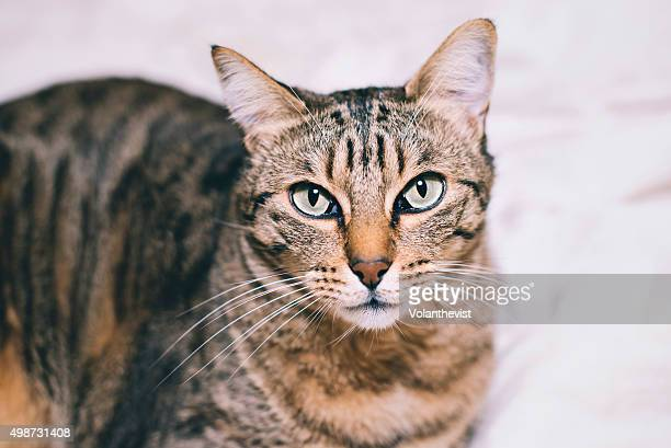 Cute tabby cat lying on white sheets