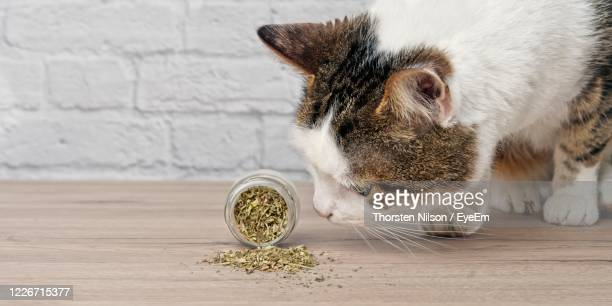 cute tabby cat sniffing dried catnip. - catmint stock pictures, royalty-free photos & images