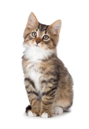 Cute tabby kitten on a white background. 184695239