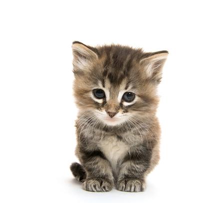 Cute tabby kitten 531243945