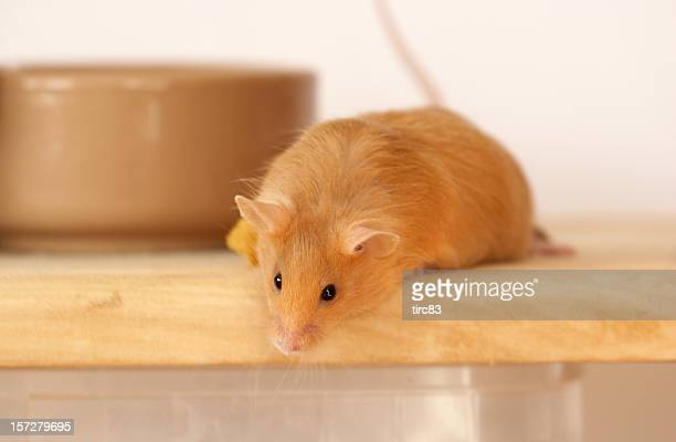 Cute tan coloured mouse peering down
