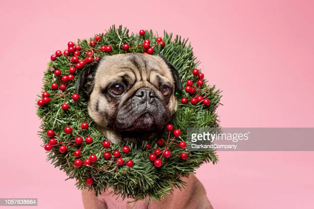 Cute Tan Coloured Pug Wearing a Christmas Wreath