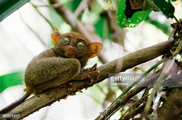 cute tarsier on a branch in bohol, philippines - tarsier stock photos and pictures