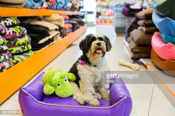 Cute Tibetan Terrier in pet store resting in pet bed.