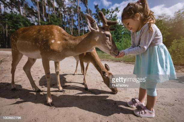 schattige kleuter meisje netlevering van herten uit haar handen - dierentuin stockfoto's en -beelden
