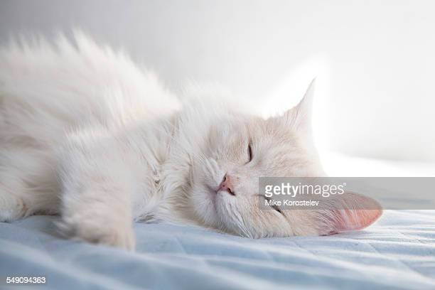 Cute turkish angora cat, sleeping