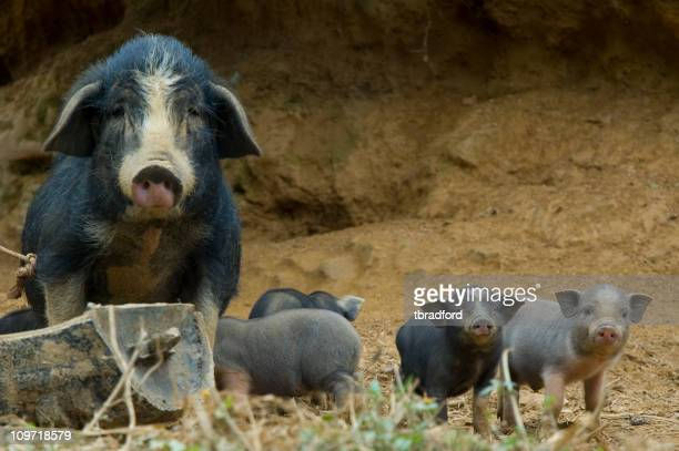 Cute Vietnamese Pot Bellied Pig With Piglets