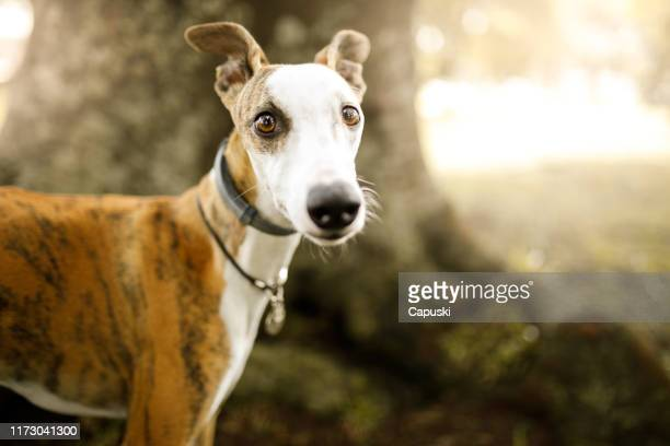 cute whippet dog portrait - whippet stock pictures, royalty-free photos & images