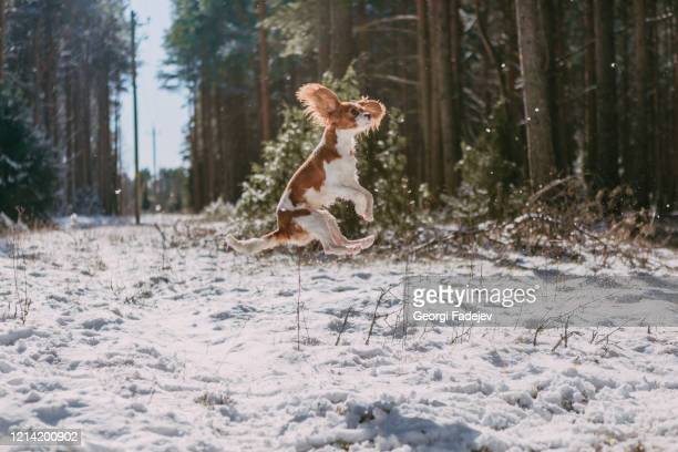 a cute white and brown king charles spaniel, standing in a snow covered woodland setting. plays with the snow. - britisches königshaus stock-fotos und bilder