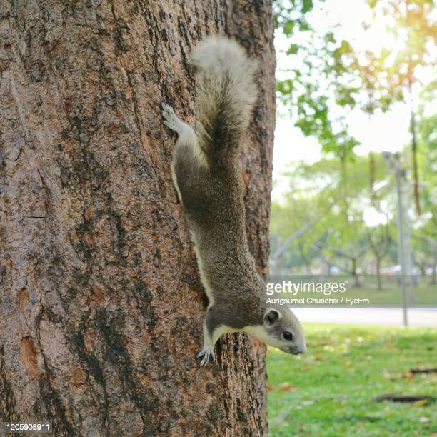 a cute white and grey squirrel is climbing on tree trunk of the big tree in the public park. - aungsumol stock pictures, royalty-free photos & images