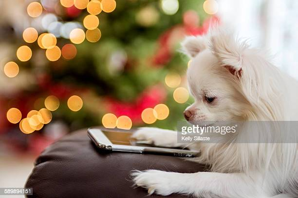 Cute White Chihuahua with Digital Tablet