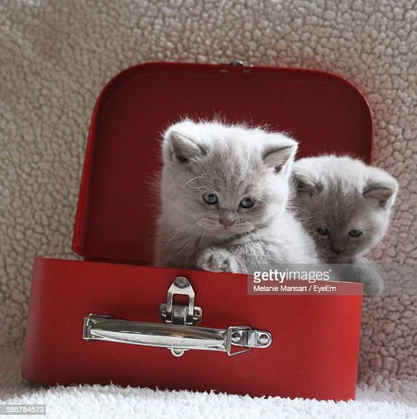 Cute White Kittens In Red Box