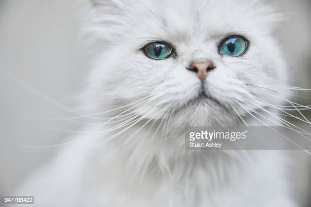 Cute white Persian cat with blue eyes