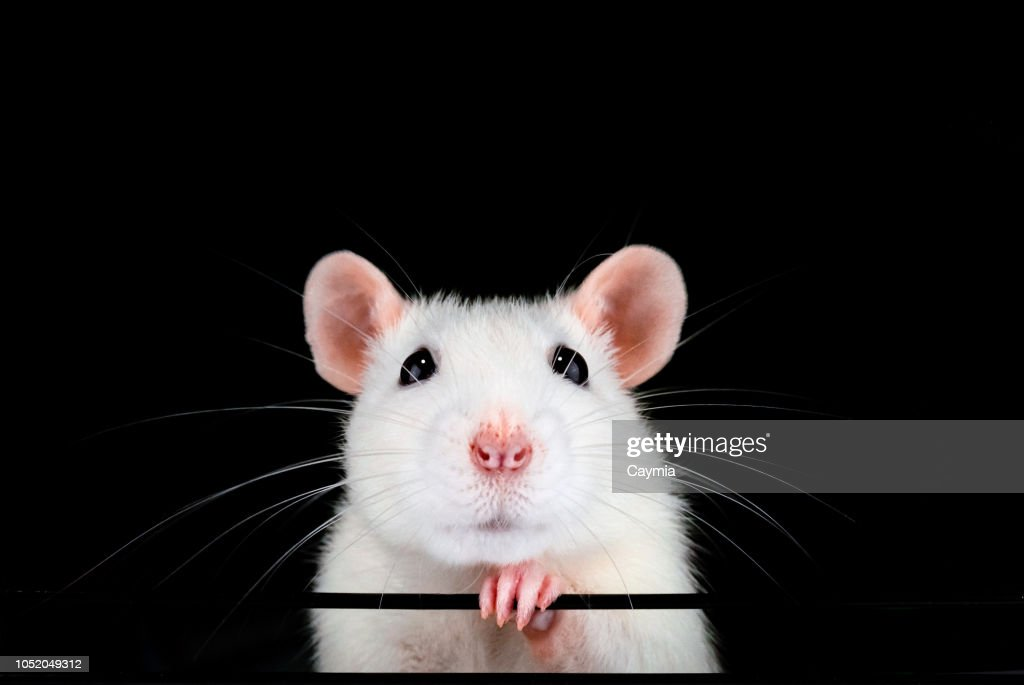 Cute white pet rat portrait with black background. : Stock Photo