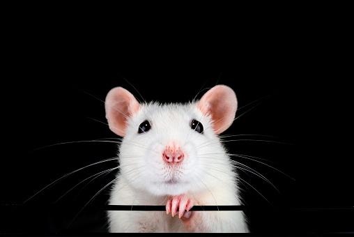 Cute white pet rat portrait with black background. 1052049312