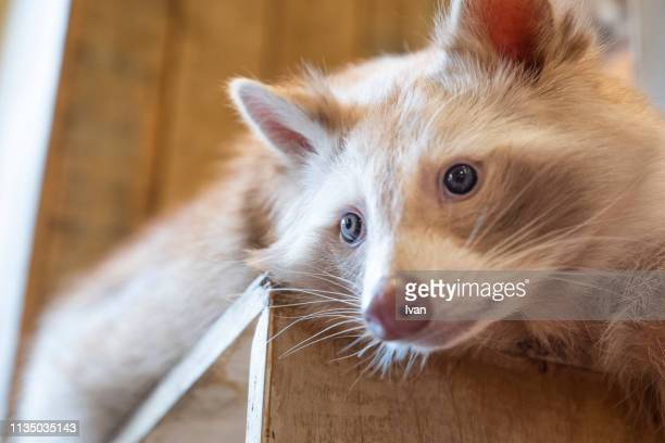 cute white raccoon lays in wooden box - animal finger stock photos and pictures