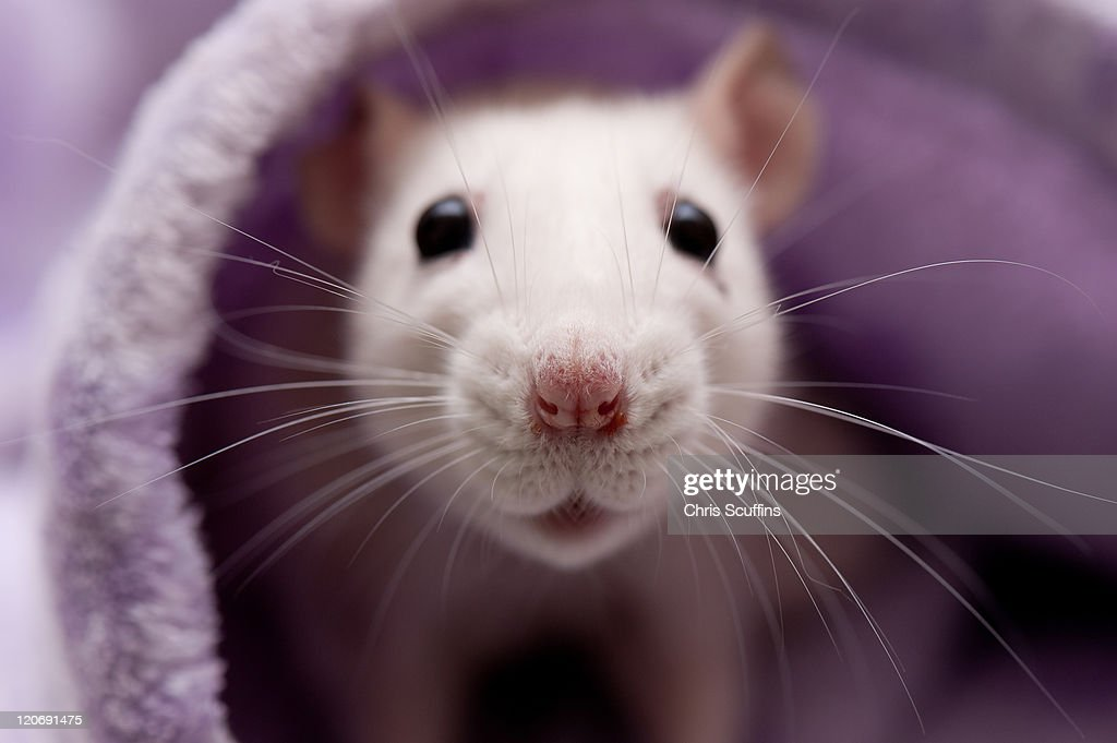 Cute white rat : Stock Photo