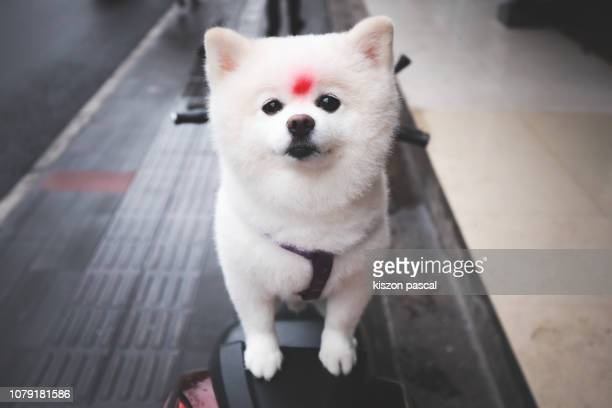 cute white spitz pomeranian dog looking at camera - japanese spitz stock pictures, royalty-free photos & images