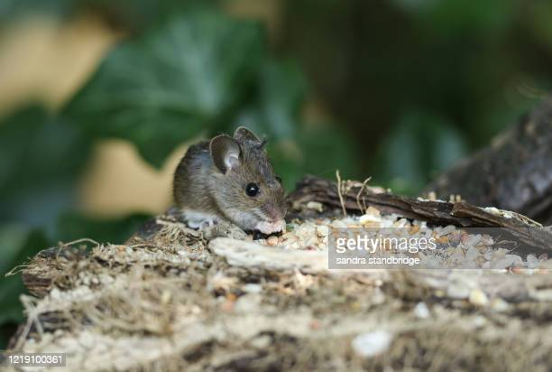 a cute wild baby wood mouse,  apodemus sylvaticus, eating seeds sitting on a log in woodland. - field mouse stock pictures, royalty-free photos & images
