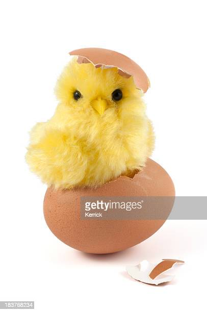 A cute yellow chick is breaking out of a brown eggshell