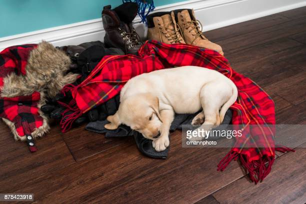 a cute yellow labrador puppy sleeping on winter coats and scarves bowl - 5 weeks old - plaid stock pictures, royalty-free photos & images
