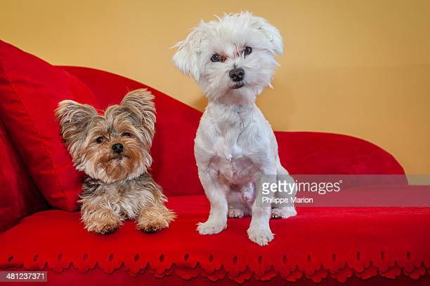 Cute Yorkshire terrier and Maltese dogs