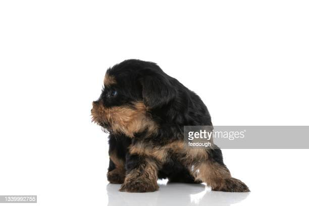 cute yorkshire terrier dog looking to