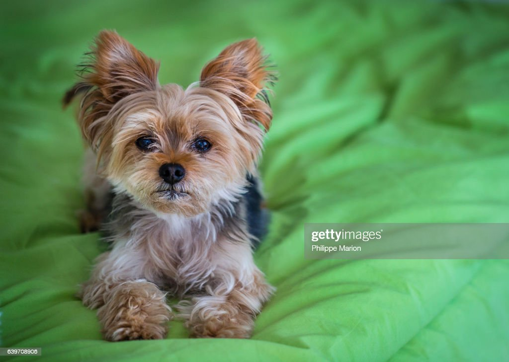 Cute Yorkshire Terrier (Yorkie) on a green bed : Stock Photo