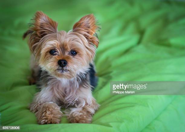 cute yorkshire terrier (yorkie) on a green bed - yorkshire terrier stock pictures, royalty-free photos & images