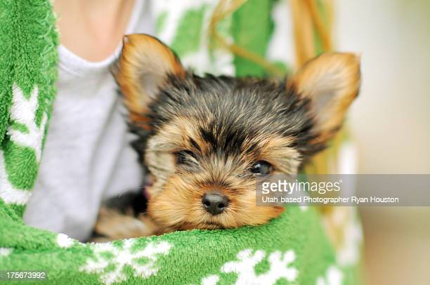 Cute Yorkshire Terrier Puppy Wrapped in Blanket