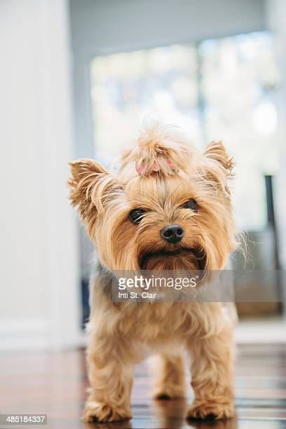 Cute Yorkshire terrier with pony tail