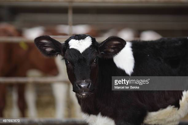 Cute young calf at a farm