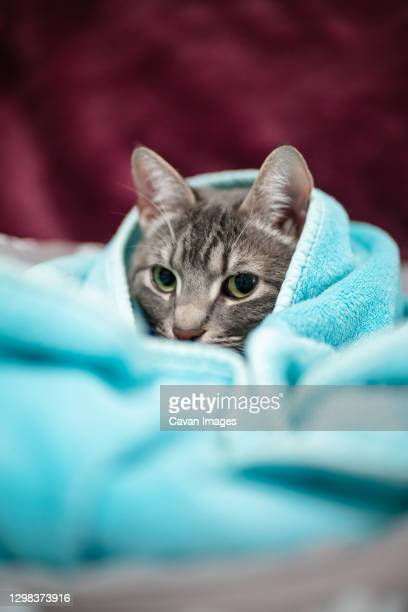cute young cat covered in a light blue blanket with purple background - blanket stock pictures, royalty-free photos & images