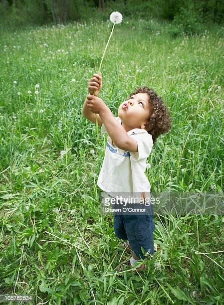 cute young child holding dandelion - コロラド州 ニューキャッスル ストックフォトと画像
