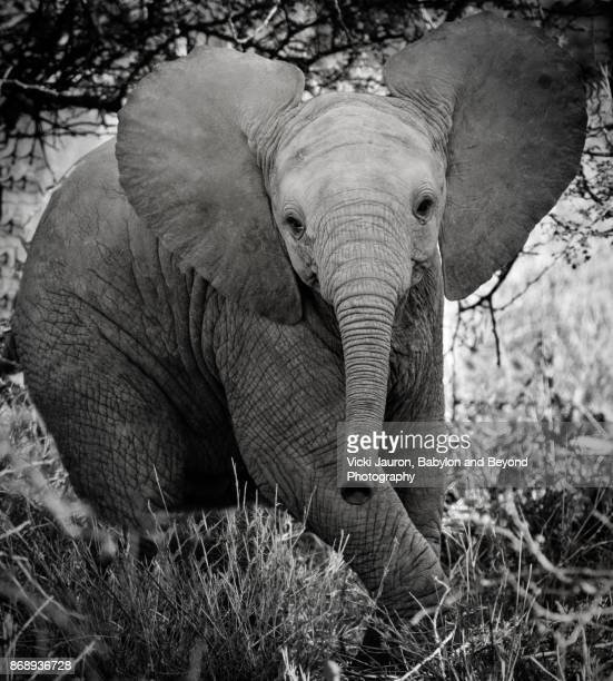 cute young elephant in laikipia, kenya - threatened species stock photos and pictures