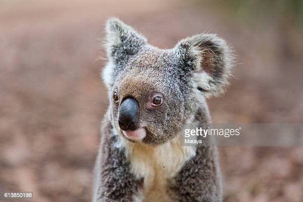 cute young koala portrait - koala stock photos and pictures