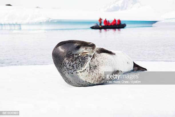 cute young leopard seal lying down on snow - leopard seal stock pictures, royalty-free photos & images