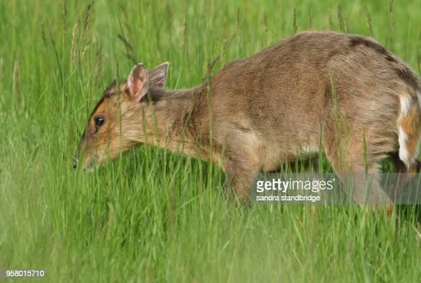 A cute young Muntjac Deer (Muntiacus reevesi) feeding in a grassy field.