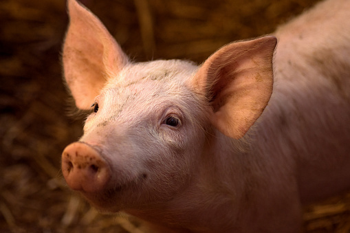 cute young pig 909260196