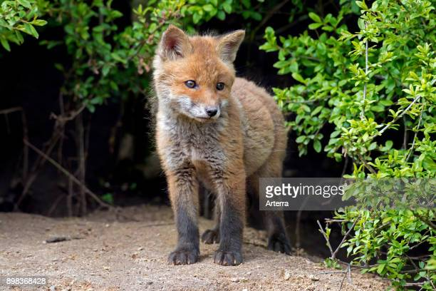Cute young red fox single kit emerging from thicket in spring