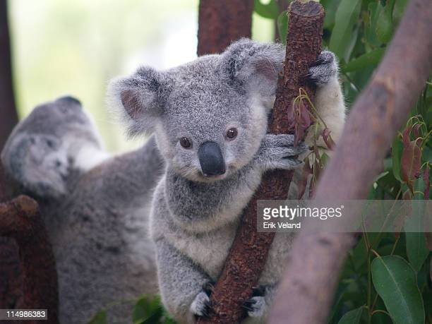 cutest koala - koala stock photos and pictures