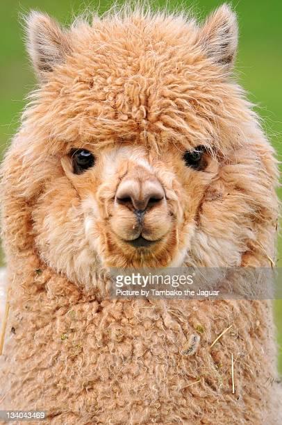 Cutest young alpaca