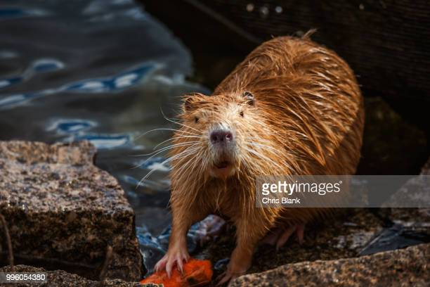 cutie - beaver stock pictures, royalty-free photos & images