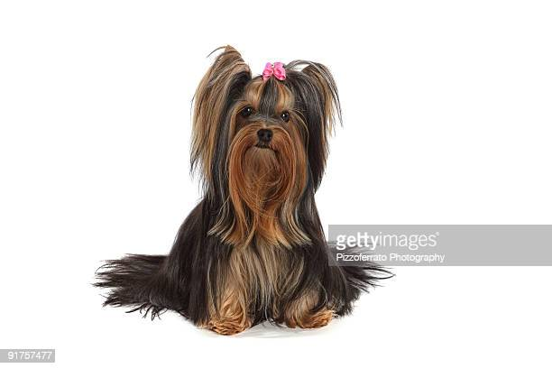 cutie pie - yorkshire terrier stock pictures, royalty-free photos & images