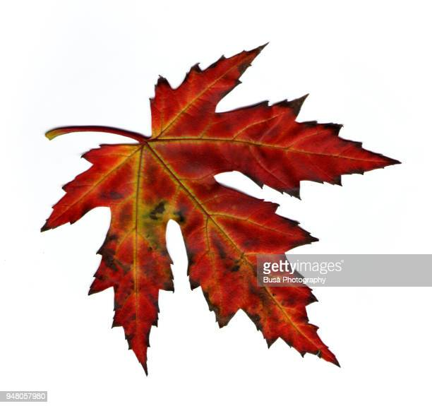 cut-out image of maple leaf on a white background - maple leaf stock photos and pictures